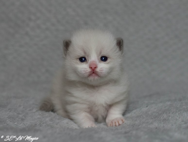 Hona vit, blå bicolor, 3 veckor