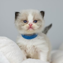 Blått halsband 3,5 vecka gammal
