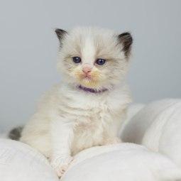 Lila halsband 3,5 vecka gammal